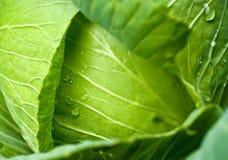 σταγόνες βροχής λάχανων Στοκ εικόνα με δικαίωμα ελεύθερης χρήσης