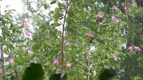 Σταγόνες βροχής που αφορούν τα φύλλα, κλάδοι του δέντρου κάτω από τη δυνατή βροχή απόθεμα βίντεο