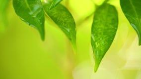 Σταγόνες βροχής που πέφτουν από τη βρέχοντας σκηνή φύλλων φυτών απόθεμα βίντεο