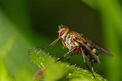 Σταγόνες βροχής που πιάνονται σε μια μύγα στοκ φωτογραφία