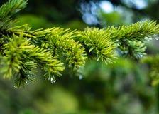 Σταγόνες βροχής σε έναν κλάδο δέντρων Στοκ Εικόνα