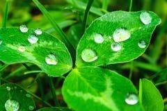 Σταγόνες βροχής σε μια πράσινη κινηματογράφηση σε πρώτο πλάνο φύλλων Πτώσεις του νερού σε μια μακροεντολή πράσινων εγκαταστάσεων Στοκ φωτογραφία με δικαίωμα ελεύθερης χρήσης