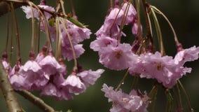 Σταγόνες βροχής στα άνθη κερασιών μετά από το ελαφρύ ντους άνοιξη απόθεμα βίντεο