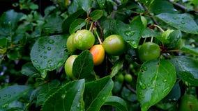 Σταγόνες βροχής στα πράσινα φύλλα και τους ωριμάζοντας καρπούς του οπωρωφόρου δέντρου απόθεμα βίντεο