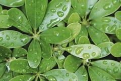 Σταγόνες βροχής στα πράσινα φύλλα στο υπόβαθρο φύσης περιόδου βροχών Στοκ Φωτογραφίες