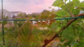 Σταγόνες βροχής στα σμέουρα στοκ φωτογραφίες με δικαίωμα ελεύθερης χρήσης