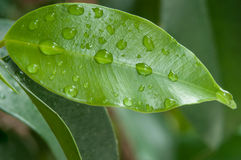 Σταγόνες βροχής στα φύλλα Benjamin ficus Στοκ Φωτογραφίες