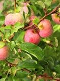 Σταγόνες βροχής στα ώριμα κόκκινα μήλα Στοκ φωτογραφίες με δικαίωμα ελεύθερης χρήσης