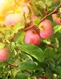 Σταγόνες βροχής στα ώριμα κόκκινα μήλα Στοκ εικόνες με δικαίωμα ελεύθερης χρήσης