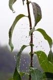 Σταγόνες βροχής στον ιστό αράχνης Στοκ Εικόνες