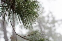 Σταγόνες βροχής στον κλάδο δέντρων πεύκων Στοκ εικόνα με δικαίωμα ελεύθερης χρήσης