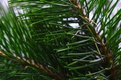 Σταγόνες βροχής στο δέντρο πεύκων, στοκ εικόνα με δικαίωμα ελεύθερης χρήσης