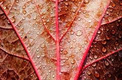 Σταγόνες βροχής στο κόκκινο φύλλο φθινοπώρου Στοκ Εικόνες