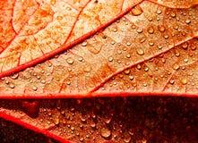 Σταγόνες βροχής στο φύλλο φθινοπώρου Στοκ Εικόνα