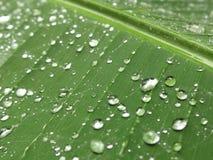 Σταγόνες βροχής στο φύλλο μπανανών Στοκ Εικόνες