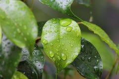 σταγόνες βροχής στο φύλλο στοκ εικόνα με δικαίωμα ελεύθερης χρήσης