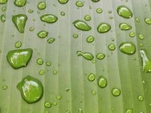 σταγόνες βροχής φύλλων Σταγονίδια νερού στο φύλλο μπανανών Στοκ φωτογραφίες με δικαίωμα ελεύθερης χρήσης