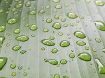 σταγόνες βροχής φύλλων Σταγονίδια νερού στο φύλλο μπανανών Στοκ Εικόνες