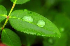 σταγόνες βροχής φύλλων Στοκ εικόνα με δικαίωμα ελεύθερης χρήσης
