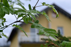 σταγόνες βροχής φύλλων Στοκ Εικόνα