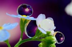 Σταγόνες βροχής Forget-me-nots λουλουδιών Στοκ εικόνα με δικαίωμα ελεύθερης χρήσης