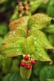 Σταγόνες βροχής Wort του ST John ` s στα φύλλα μετά από το θερινό ντους