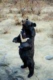Σταθείτε την αρκούδα Στοκ Φωτογραφίες