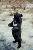 Σταθείτε την αρκούδα Στοκ Εικόνες