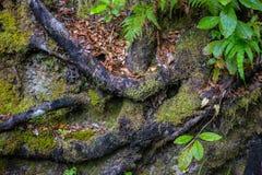 Σταθερές ρίζες δέντρων στο έδαφος που καλύπτεται από το βρύο, κινηματογράφηση σε πρώτο πλάνο, εθνικό πάρκο του Abel Tasman Στοκ Εικόνες