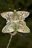 σταξτιά malvae πεταλούδων που & Στοκ φωτογραφία με δικαίωμα ελεύθερης χρήσης