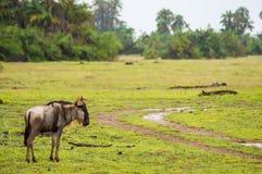 στατικός πιό wildebeest στην πεδιάδα σαβανών της ισοτιμίας Amboseli στοκ φωτογραφίες