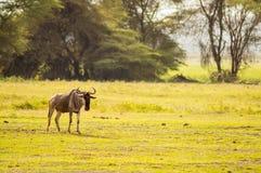 στατικός πιό wildebeest στην πεδιάδα σαβανών της ισοτιμίας Amboseli στοκ εικόνες