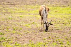 στατικός πιό wildebeest στην πεδιάδα σαβανών της ισοτιμίας Amboseli στοκ εικόνα με δικαίωμα ελεύθερης χρήσης