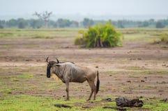στατικός πιό wildebeest στην πεδιάδα σαβανών Amboseli στοκ φωτογραφία