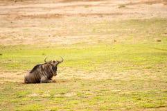 στατικός πιό wildebeest στην πεδιάδα σαβανών Amboseli στοκ εικόνες