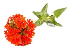 Σταυρός της Ιερουσαλήμ λουλουδιών (chalcedonica Lychnis) Στοκ Εικόνες