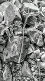 Σταυρώσεις αγκαθιών Στοκ Φωτογραφίες