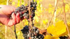 Σταφύλια αμπέλων ελέγχου καλλιεργητών κρασιού μετά από τον πρώτο παγετό στον αμπελώνα Εποχή φθινοπώρου της αμπέλου που κάνει πριν απόθεμα βίντεο