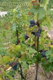 Σταφύλια κρασιού στην άμπελο που αυξάνεται Στοκ φωτογραφία με δικαίωμα ελεύθερης χρήσης