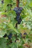 Σταφύλια κρασιού στην άμπελο που αυξάνεται Στοκ Εικόνες