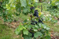 Σταφύλια κρασιού στην άμπελο που αυξάνεται Στοκ Φωτογραφία