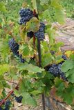 Σταφύλια κρασιού στην άμπελο που αυξάνεται Στοκ Εικόνα