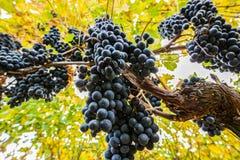 Σταφύλια κρασιού Στοκ εικόνα με δικαίωμα ελεύθερης χρήσης