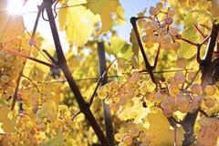 Σταφύλια κρασιού Riesling Στοκ εικόνα με δικαίωμα ελεύθερης χρήσης