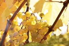 Σταφύλια κρασιού Riesling Στοκ Εικόνα