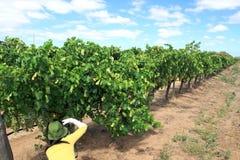 Σταφύλια στην αυλή κρασιού στοκ εικόνες