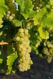 Σταφύλια στον κλάδο στην περιοχή κρασιού Balaton, της Ουγγαρίας Στοκ εικόνα με δικαίωμα ελεύθερης χρήσης