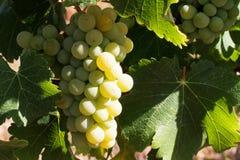 σταφύλια τομέων που παράγουν το άσπρο κρασί Στοκ εικόνα με δικαίωμα ελεύθερης χρήσης