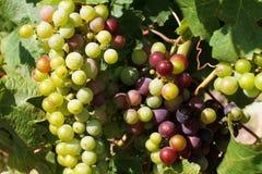 σταφύλια τομέων που παράγουν το κρασί Στοκ Φωτογραφίες
