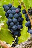 σταφύλια τομέων που παράγουν το κόκκινο κρασί Στοκ εικόνα με δικαίωμα ελεύθερης χρήσης